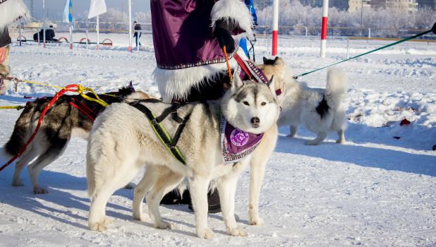 Фестиваль северных ездовых собак в Барнауле.