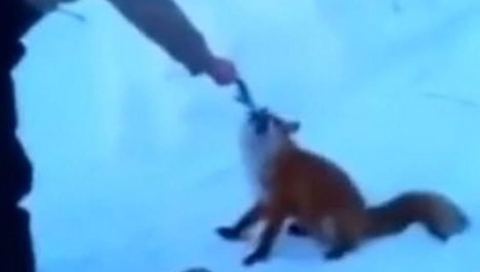 На Алтае наглая лиса хотела стащить улов рыбаков.
