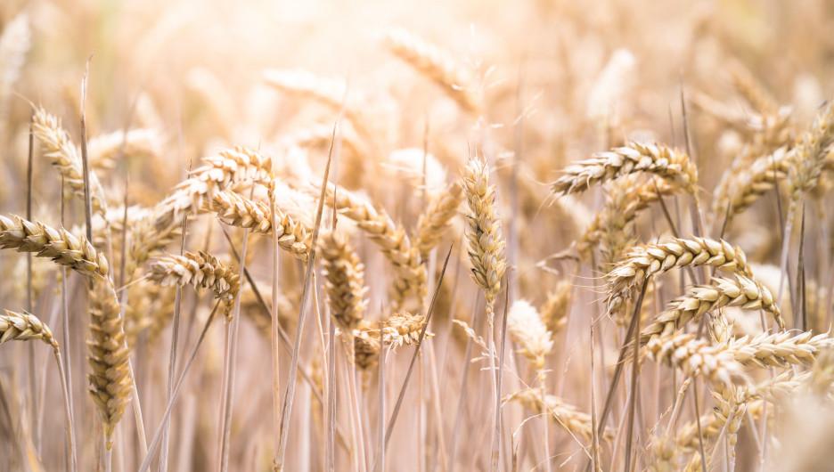 Зерно. Урожай.