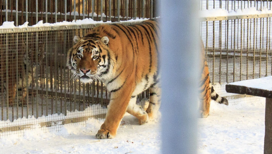 Тигры в барнаульском зоопарке зимой.