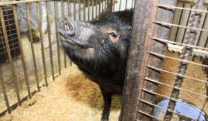 Вислобрюхая свинья в барнаульском зоопарке зимой.