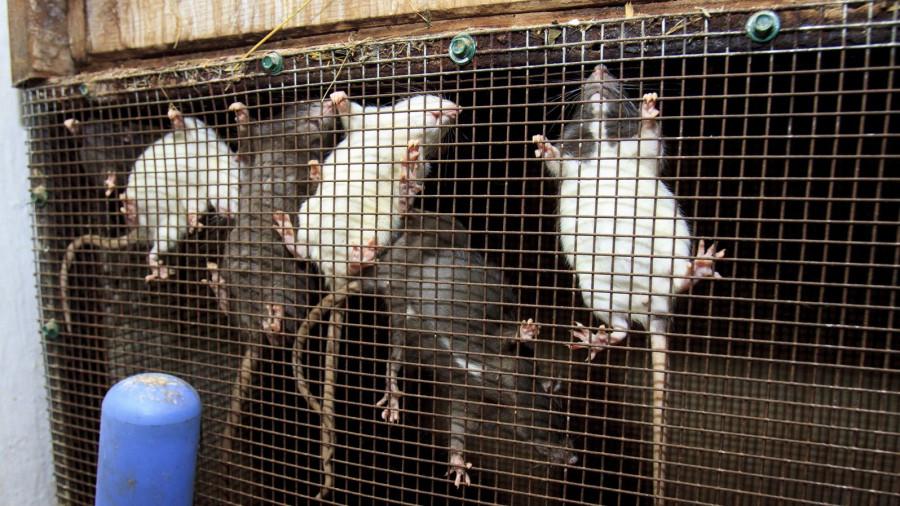 Крысы в барнаульском зоопарке зимой.