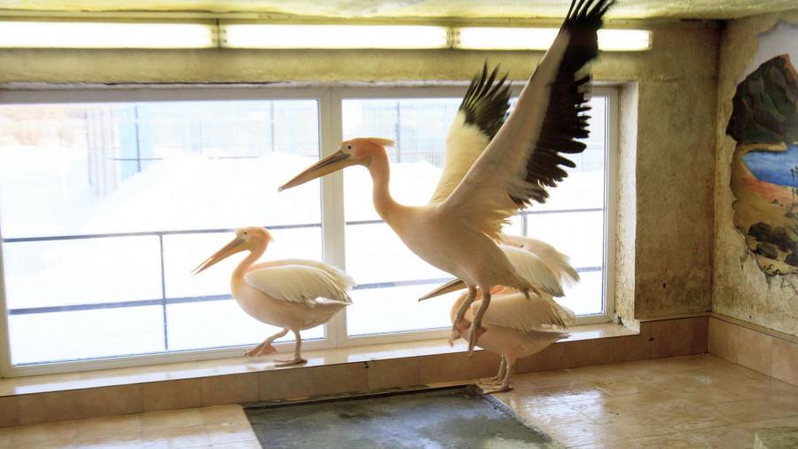 Пеликаны в барнаульском зоопарке зимой.