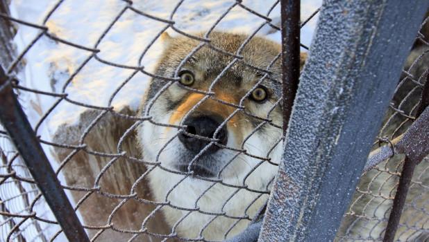 Серый волк в барнаульском зоопарке зимой.