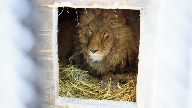 Лев в барнаульском зоопарке зимой.