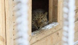 Дальневосточный леопард в барнаульском зоопарке зимой.