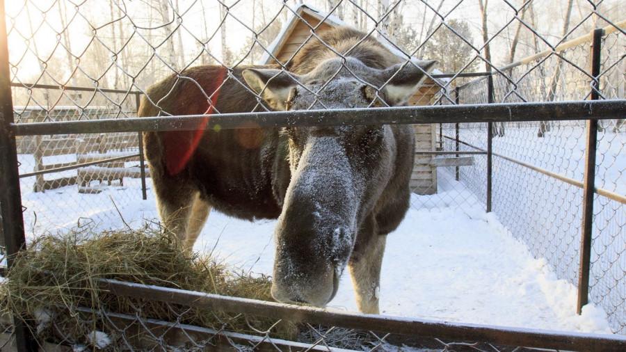 Лось в барнаульском зоопарке зимой.