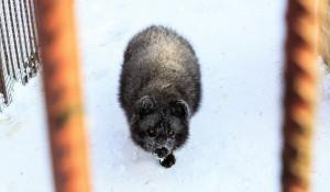 Черный песец в барнаульском зоопарке зимой.
