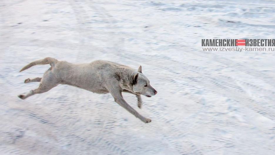 Стаи бродячих собак держат в страхе жителей алтайского города.