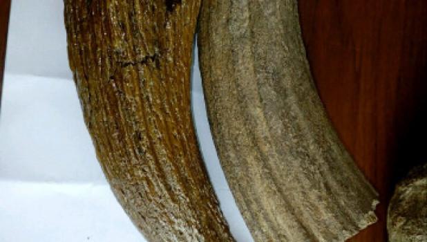 Кости и зубы мамонтов.