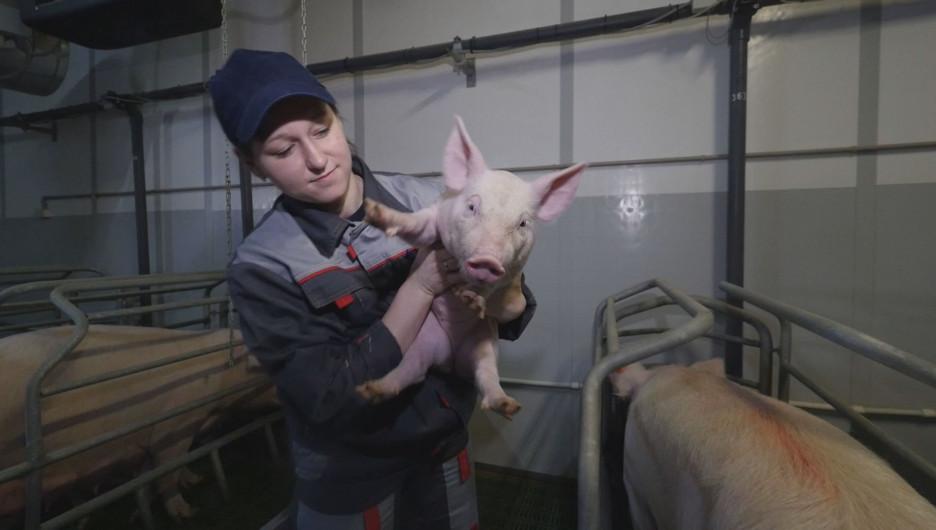 """""""Барнаульский пищевик"""" выводит на проектную мощность крупный свинокомплекс на Алтае."""