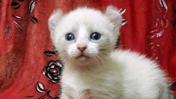 В Барнауле за 50 тысяч продают котенка экспериментальной породы.