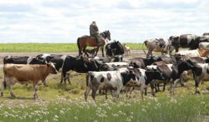 Стада коров с частных подворий на Алтае сокращаются.