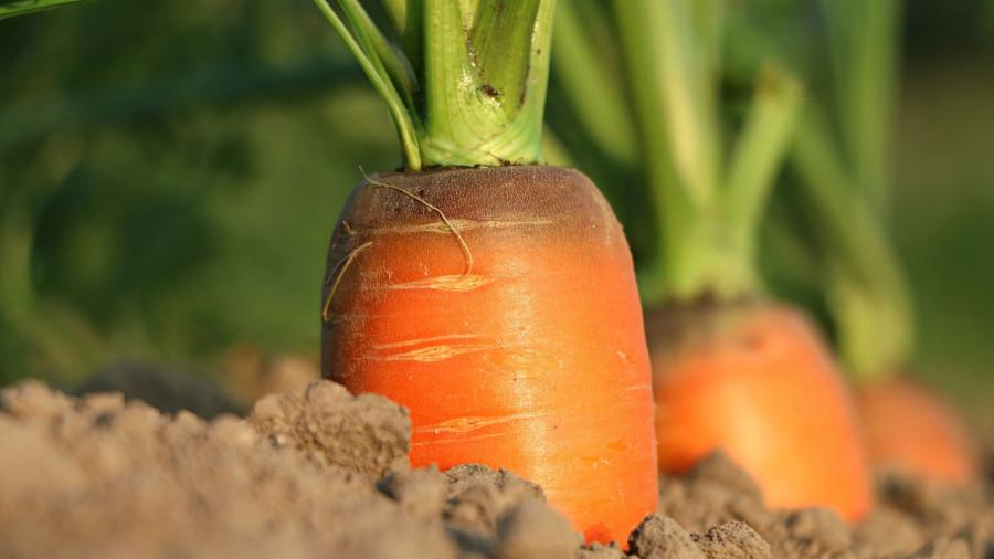 Морковь. Огород