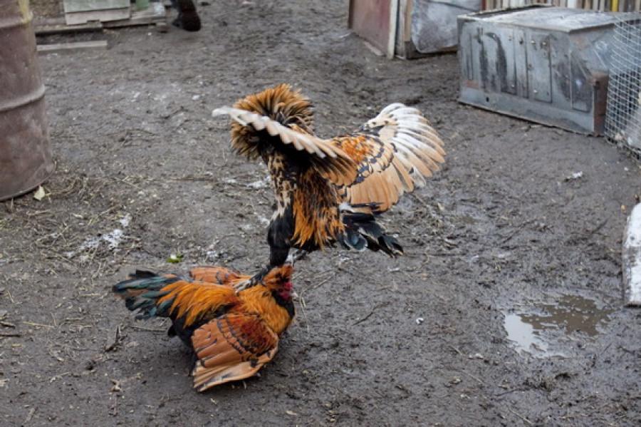 Разведение декоративных кур для Сергея Дмитриева – это творчество.