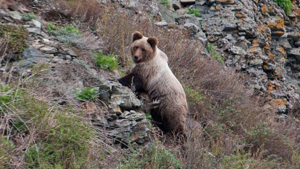 Медведь на прителецком склоне.