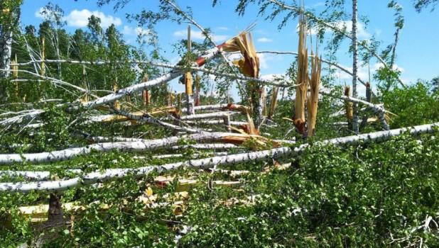 В Алтайском крае ураган серьезно повредил лесные массивы.