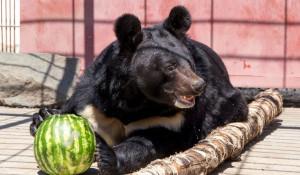 В барнаульском зоопарке медведя угостили арбузом.