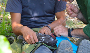 Прикрепление GPS-трекера к птенцу