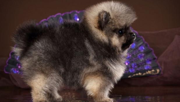 В Алтайском крае продают миниатюрного шпица за 150 тысяч рублей.