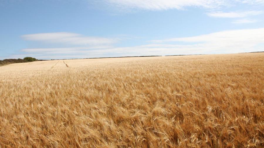 Урожай. Поле с зерновыми.