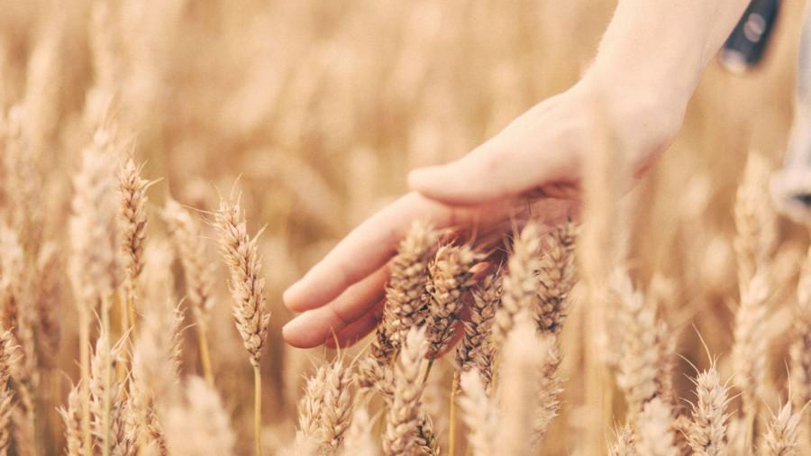 Урожай зерновых.