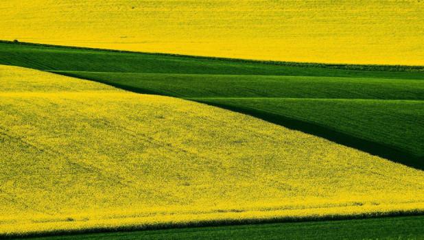 Поля рапса и пшеницы.