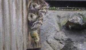 В новосибирском зоопарке родились котята манула.