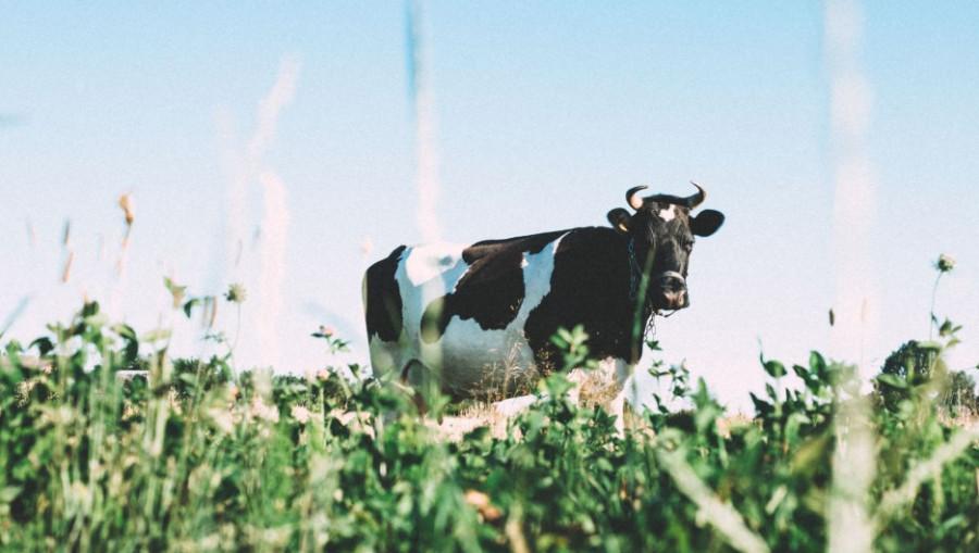 Корова. Животноводство.