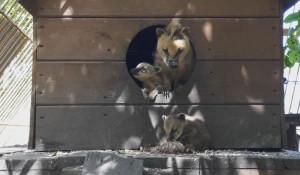 Барнаульский зоопарк опубликовал видео с первой прогулкой милых малышей носух.