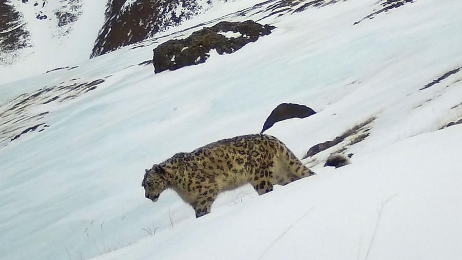 На Алтае фотоловушка сняла редкого снежного барса.