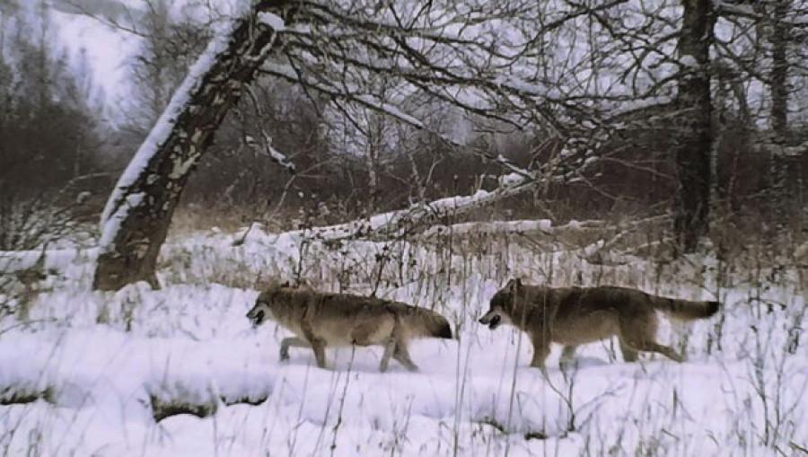 Волки в Тигирекском заповеднике.