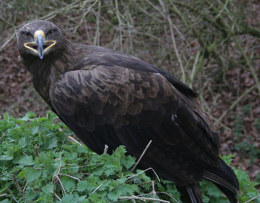 Степной орел.