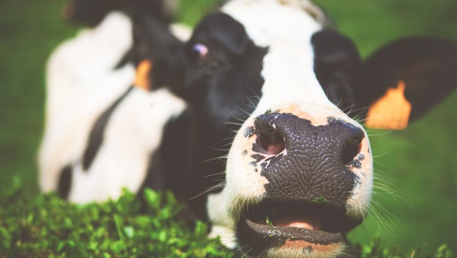Коровы. Животноводство.