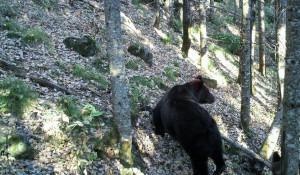 Медведи Алтайского заповедника.