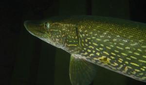 Гигантскую щуку сняли в Телецком озере дайверы. 3 декабря 2018 года.