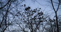 Массовые ночевки птиц в центре Барнаула.