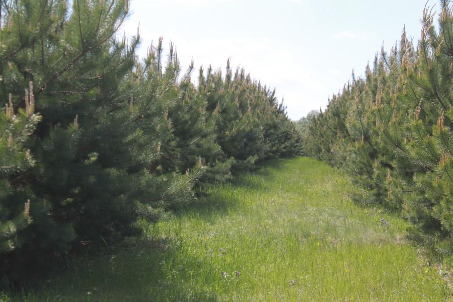 Ежегодно в ленточных борах высаживают 10 тыс га новых лесов.