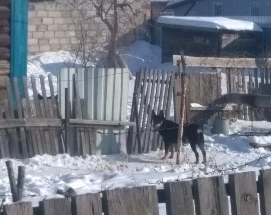 В Рубцовске собаки напали на женщину. 14 февраля 2019 года.