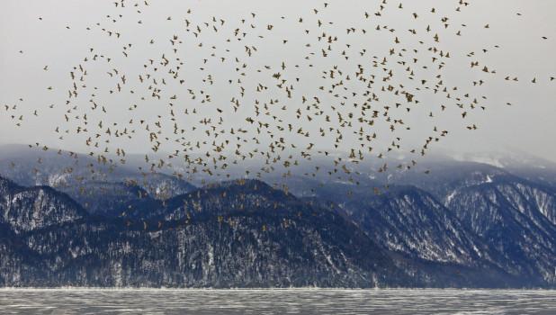 На Телецкое озеро прилетела огромная стая свиристелей, состоящая из сотен особей.