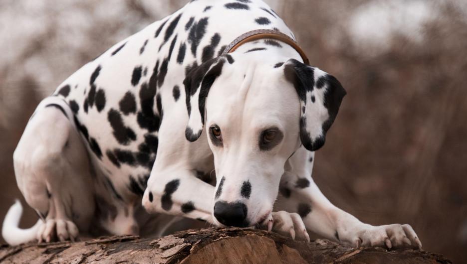 Собака. Далматинец