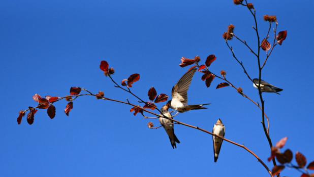 Птицы. Ласточки