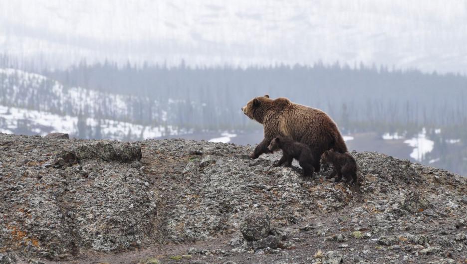 Медведи. Зима