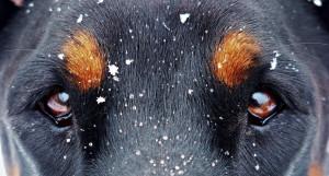 Доберман. Собака.