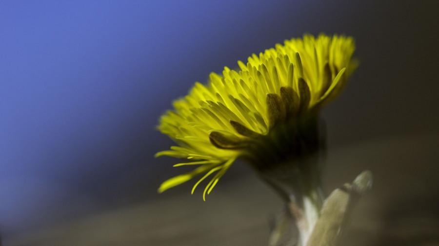 Цветок. Мать-и-мачеха