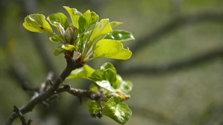 Яблоня. Весна. Зелень