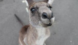 Австралия. Кенгуру.