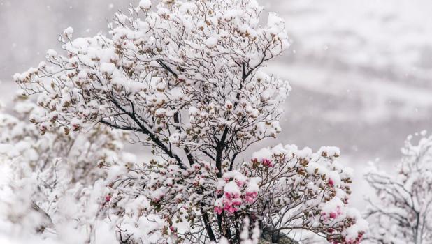 Маральник и снегопад.
