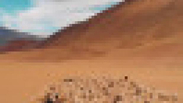 Зубры бегут по Республике Алтай.