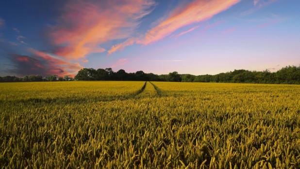 Поле. Пшеница